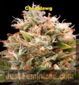 Humboldt Chemdawg cheap feminised Cannabis seeds sale